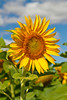 Sunflowers blooming on a field near Winkler, Manitoba, Canada.