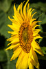 Closeup of a sunflower head in a field near Plum Coulee, Manitoba, Canada.