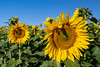 Closeup of sunflowers on a field near Linton, North Dakota, USA.