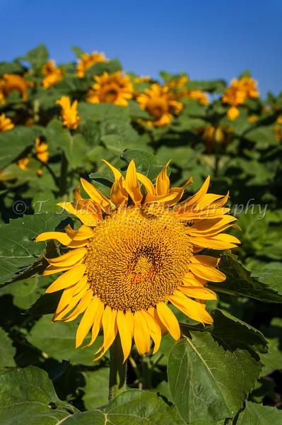 A lone sunflower head in a field near Plum Coulee, Manitoba, Canada.