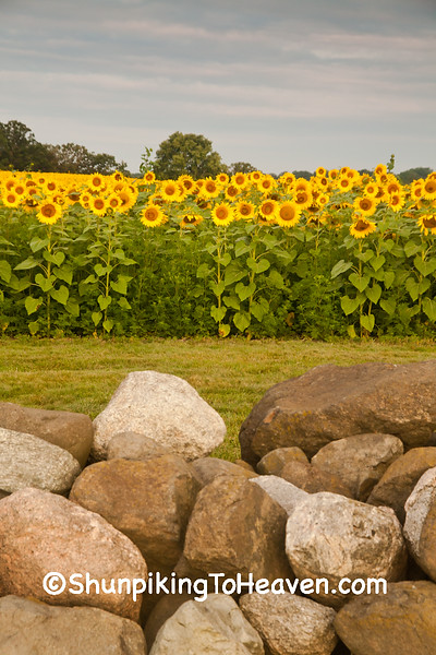 Rock Wall and Sunflowers at Pope Farm Conservancy, Dane County, Wisconsin