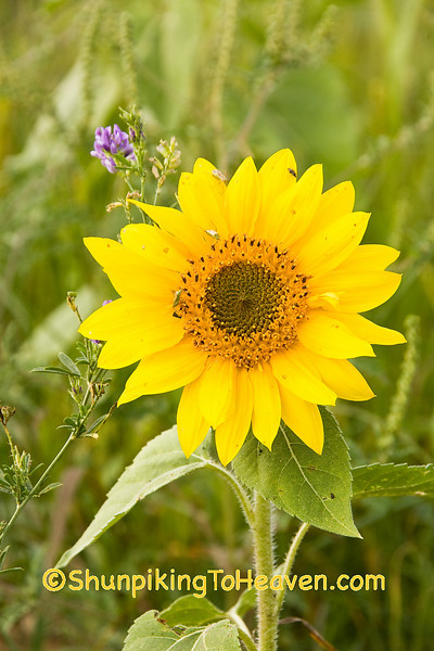 Sunny Sunflower, Sauk County, Wisconsin