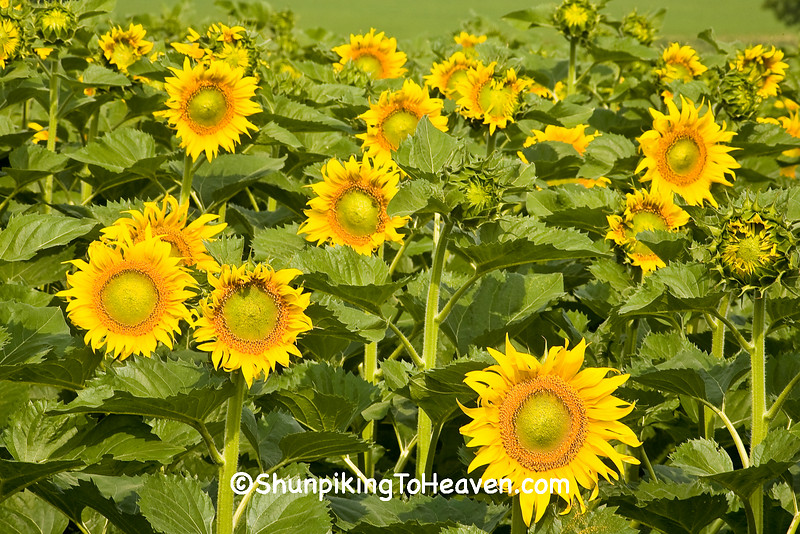 Field of Sunflowers, Columbia County, Wisconsin