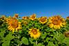 Sunflowers in bloom near Winkler, Manitoba, Canada.