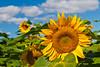 Sunflowers on a field near Winkler, Manitoba, Canada.