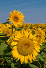 Closeup of sunflowers in a field near Plum Coulee, Manitoba, Canada.