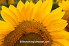 Sunflower at Bergsbaken Farms, Cecil, Wisconsin