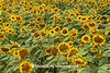 Sunflowers at Bergsbaken Farms, Cecil, Wisconsin