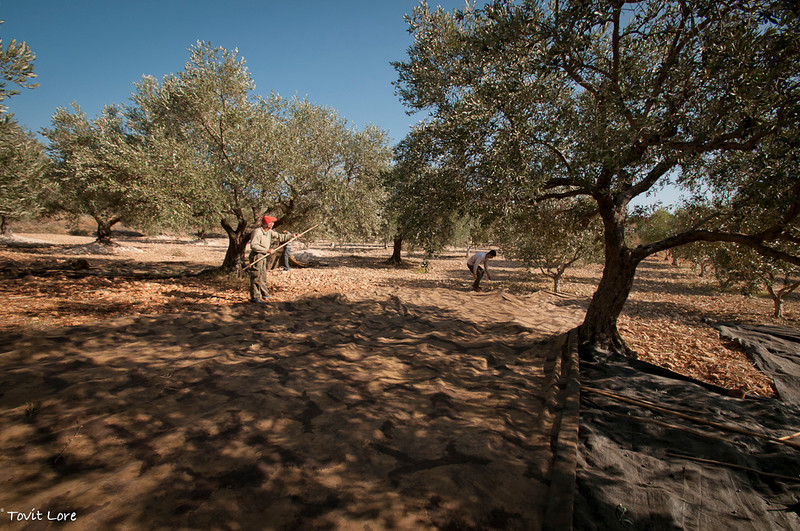 Very large sheets of industrial fabric are spread under the trees keeping the picked olives off the ground and making the collecting and gathering of the fruit possible.