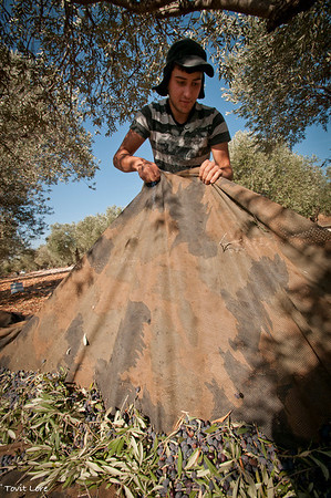 Gathering the picked olives in the sheets of fabric.