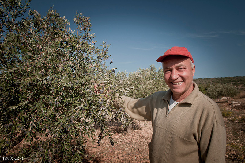 The 500 olive trees belonging to the Shik family are divided between Machress, his brothers and cousins. Machres owns and picks the fruit of 50 trees.