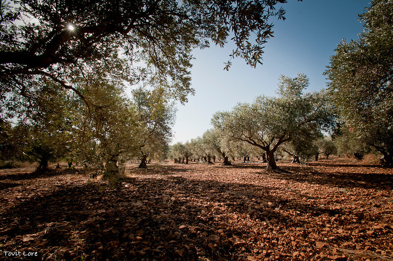 The Shik Family Olive plantation