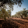 The Shik Family Olive plantation