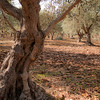 A 60 year old olive tree on the Shik family olive plantation. Over 500 olive trees belong to the Shik family from Abu Snin since 1948, on a plot of 8 acres located at the entrance of Kalil, Western Galilee