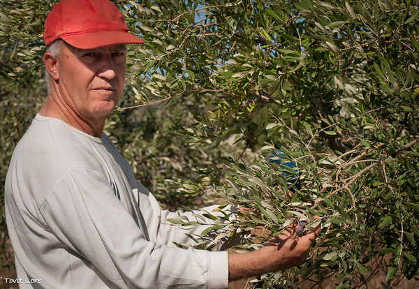 Machres Shik, owns 50 out of the 500 Syrian olive trees. He is very pleased with this year's yield of olives.