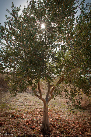 A younger generation olive tree planted by Machres 15 years ago.