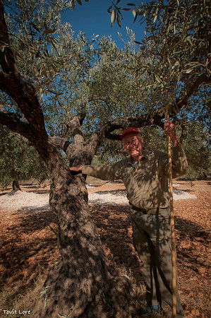On this old olive tree Machress was seated by his father when he was a young child and did not yet participate in the olive picking.
