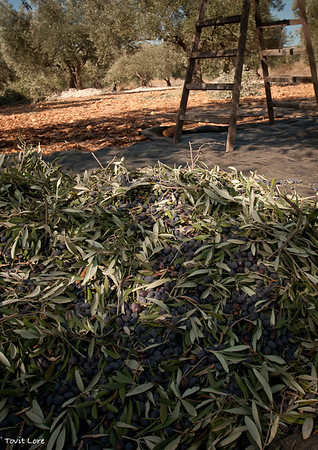 The pile of picked olives needs to be sorted. Branches and leaves need to be removed.