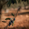 Syrian black olives - make fine olive oil.
