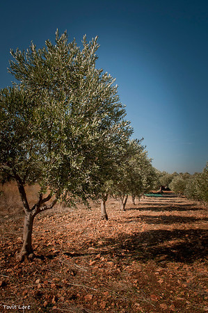 A row of younger olive trees, well pruned and taken care of. Machres has 30 young trees that out of the 50 on his plot of land.