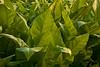 Tobacco in the Field, Dane County, Wisconsin