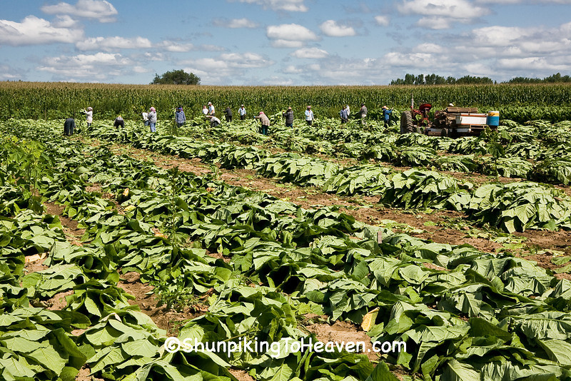 Tobacco Harvest in Progress, Dane County, Wisconsin