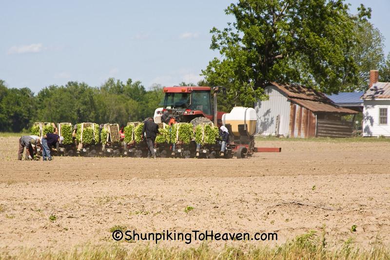 Planting Tobacco, Jones County, North Carolina
