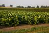 Field of Tobacco, Dane County, Wisconsin
