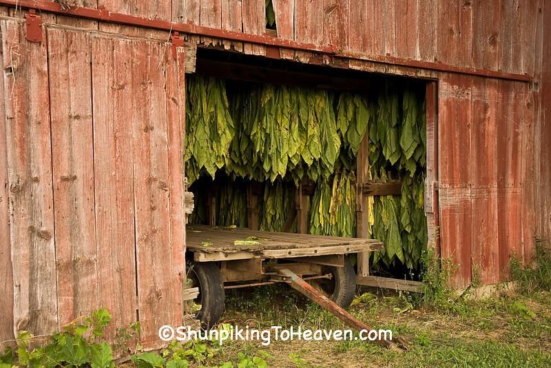 Tobacco Curing in a Tobacco Barn, Dane County, Wisconsin