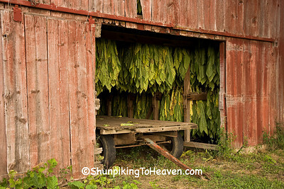 Tobacco Curing in a Tobacco Barn, Dane County, Wisconsin