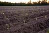 Freshly Planted Tobacco, Johnston County, North Carolina