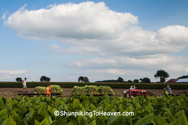 Tobacco Harvest, Dane County, Wisconsin