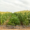 Sweet Corn and Squash Field, Irvine, CA