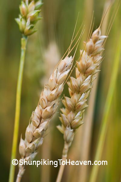 Stalks of Wheat, Dane County, Wisconsin