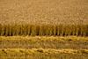 Wheat Harvest, Columbia County, Wisconsin