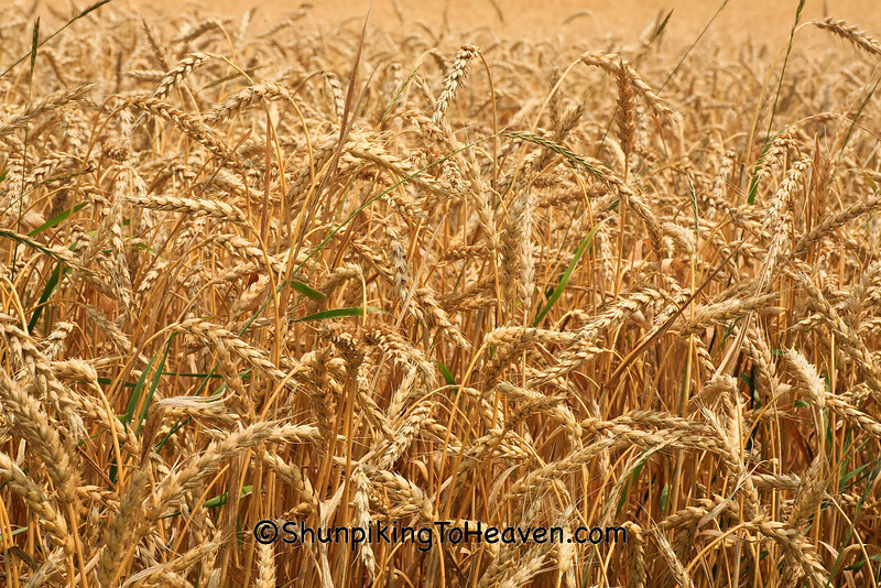 Wheat Ready for Harvest, Dane County, Wisconsin