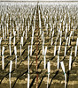 Vineyard, Wasco, California, 1994