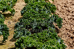 Green Leaf Kale growing in the Ground