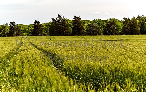 Green Wheat Field Crop