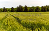 Green Wheat Field Crop