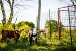 M21064- Ag Farm Animals -7856
