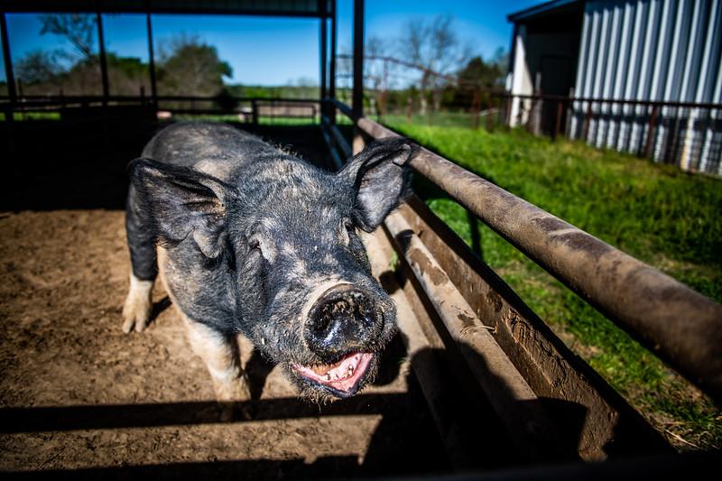 M21064- Ag Farm Animals -7538
