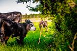 M21064- Ag Farm Animals -7731