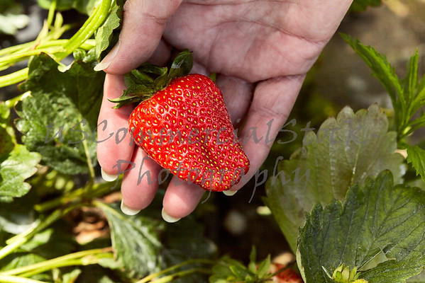 Womans Hand holding a Strawberry