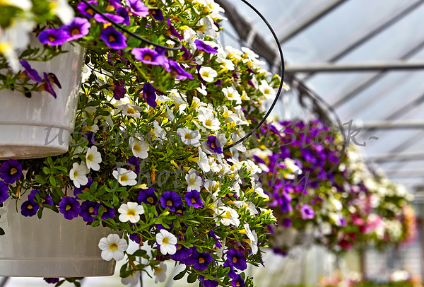 Hanging Petunias in a Greenhouse