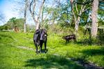 M21064- Ag Farm Animals -7639
