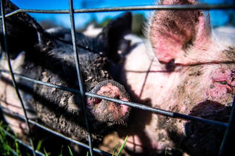 M21064- Ag Farm Animals -7570