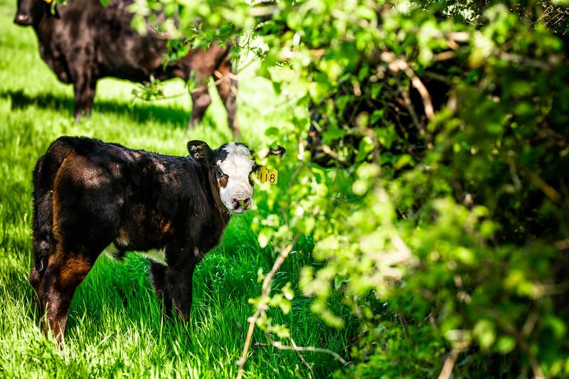 M21064- Ag Farm Animals -7716