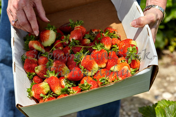 Senior Woman holding a box of Fresh Picked Strawberries