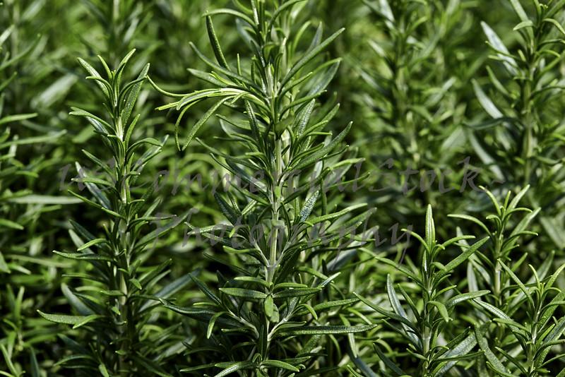 Basil Plants in a Garden